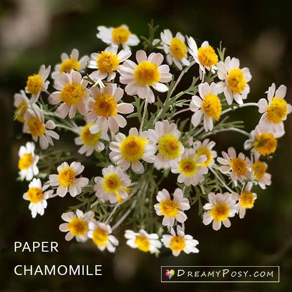 Paper Chamomile tutorial